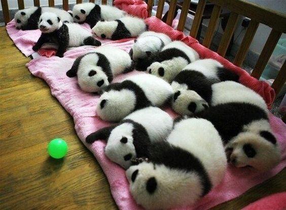 Pandas having a cuddle!