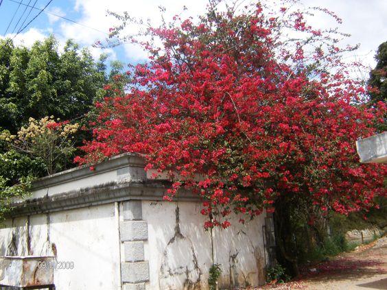 Buganville de flores vermelhas.