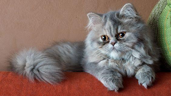 gato_persa