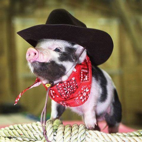 a piglet dressed as a cowboy