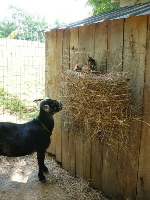 Wire mesh goat feeder diy feeders waterers etc for Mesh feeder ideas