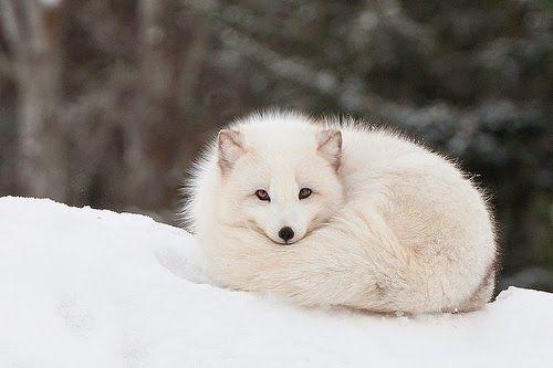 Raposa do Ártico: Nýr Dagur