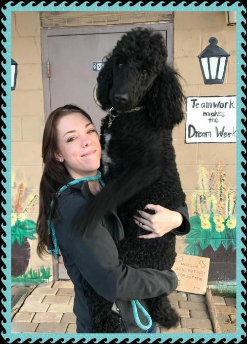 Freddie Is An Adoptable Standard Poodle Searching For A Forever