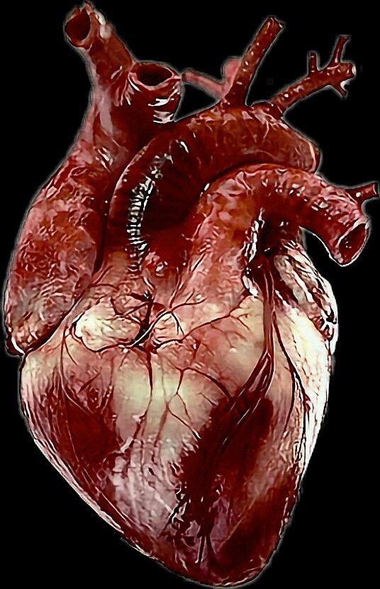 Heart Png Human Heart Anatomy Human Heart Human Heart Art