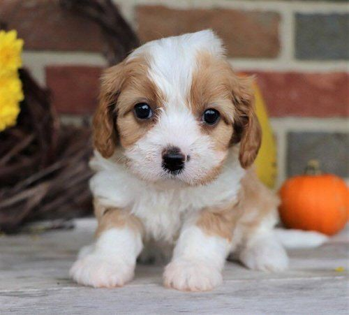 Blenheim Mini Cavapoo Cavapoo Puppies Cavapoo Cavalier King Charles