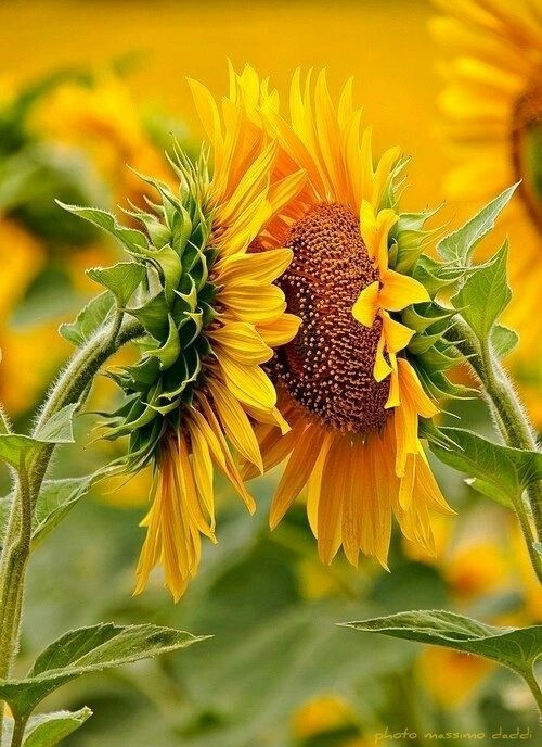 """Girassol El nombre científico es """"Helianthus annuus"""" en latín significa """"sol"""" y """"flor"""". En un momento dado, los fabricantes de chalecos salvavidas utilizaban el girasol para rellenar el interior de las chaquetas. Las semillas de girasol no sólo son sabrosas para los humanos, sino para la vida silvestre también. . Los girasoles también realizan un fenómeno conocido como heliotropismo, donde sus cabezas siguen el movimiento del sol."""