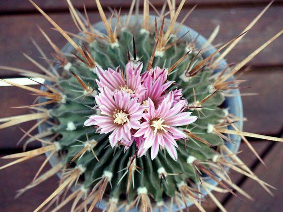 Cuidados de cactus en el interior del hogar quieres que for Cactus cuidados exterior