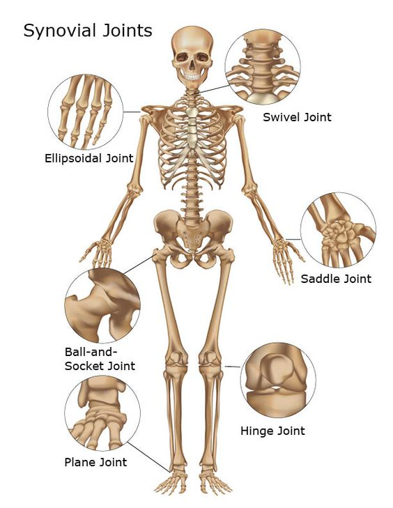 Where Are Synovial Joints Found   Synovial Joints of the Skeletal System