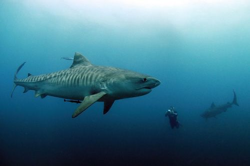 Tiger Shark: One of the largest sharks, capable of reaching 18 feet. Forced perspective makes this one look a lot bigger. Tiger sharks are Near Threatened with extinction.