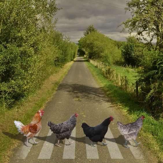 Chickens on zebra path