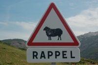alarm sheep in Corsica
