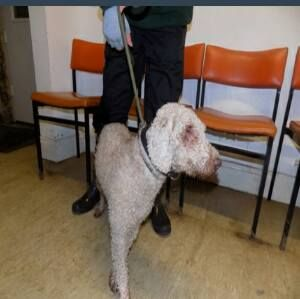 FOUND ON 17/02/16IN KINGSLEY AVENUE, HARTLEPOOLNAME: HP143 15 0883APPROX AGE: ADULTBREED: STRAYSEX: MALE