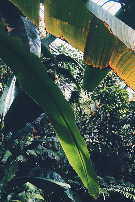 Fabulous and enormous Banana Leaves at the Hortus Botanicus Amsterdam. Hyperjulia