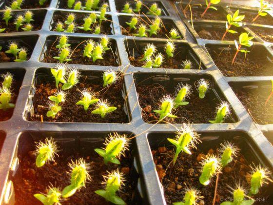 Growing Dragon Fruit How To Grow Dragon Fruit From Seed How To Grow Dragon Fruit Dragon Fruit Plant Dragon Fruit