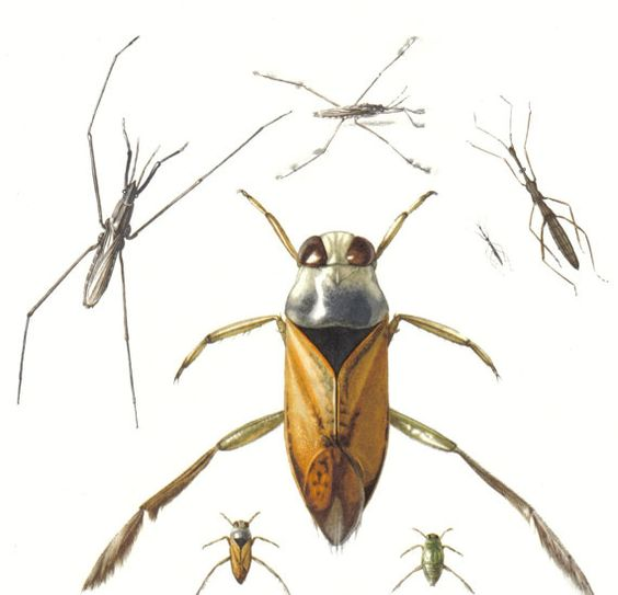 1956 Waterbugs, Pigmy Backswimmers, Hemiptera, Nepomorpha Original Vintage Offset Lithograph