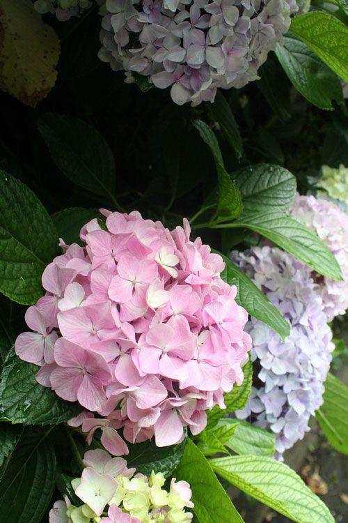 Hydrangea  variation