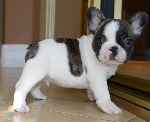 Find Your Dream Puppy Of The Right Dog Breed At Bulldog Puppies