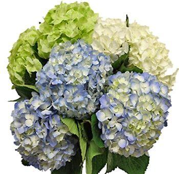 Hydrangea Flowers For Sale Wholesale Bulk Hydrangeas In 2020 Hydrangeas For Sale Flowers For Sale Hydrangea