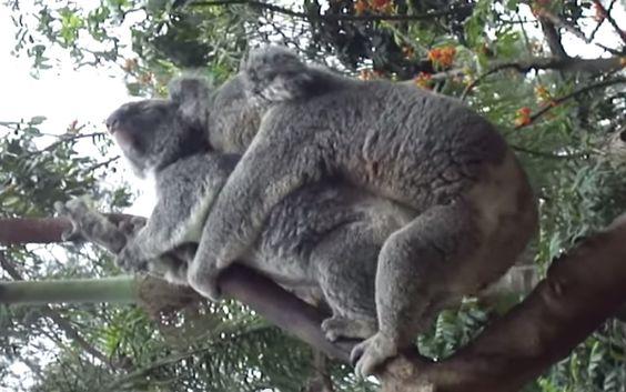 """Quando uma fêmea aceita um macho, o casal vai rapidamente aos negócios. """"Não é um processo muito gentil """" . O macho sobe em cima da fêmea por trás, morde a parte de trás de seu pescoço e rapidamente copula com ela. Como cangurus e a maioria dos marsupiais, coalas machos têm pênis com duas cabeças e coalas fêmeas têm duas vaginas — uma terceira vagina se forma depois, para trazer o filhote ao mundo, e depois se fecha."""