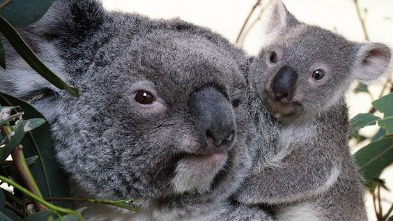 Koala -- One of the joeys with its mother.