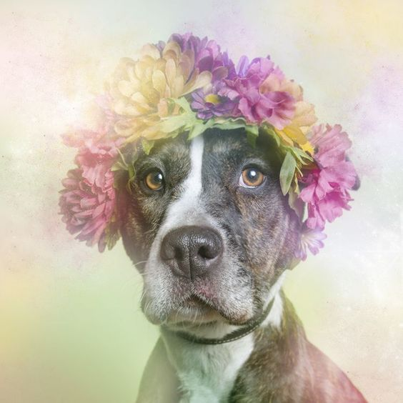 """""""Flower Power"""": Portrait Photography Series Dedicated to Pit Bulls"""