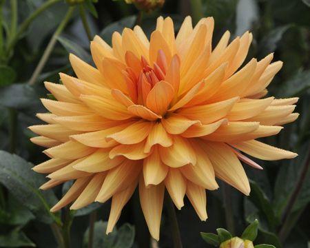 Lantra (#690) Classification: Semi-Kaktus-Dahlien Color: orange Height: circa 100 cm Blossom size: 10 cm - 15 cm Grower, Year Plochaet, H. (Belgium), 1994