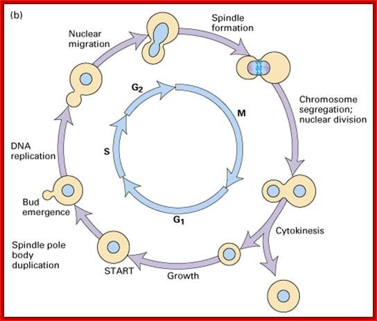 Cell Cycle Regulation Cell Cycle Biology Worksheet The Cell