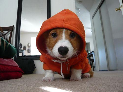 Ganster puppy