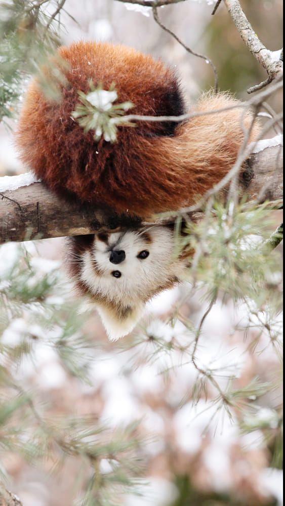 レッサーパンダ下を覗く姿