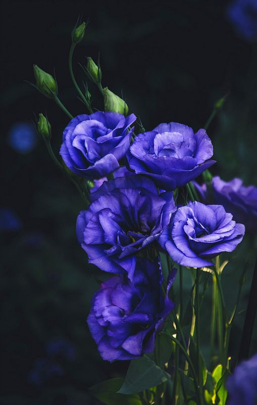 Purple Lisianthus: