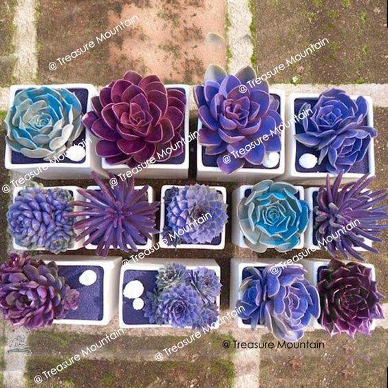 1 Professional pack, Environ 100 graines / pack, Bonsai mixtes violet semences de plantes succulentes # NF365 dans Bonsaïs de Maison & Jardin sur AliExpress.com | Alibaba Group