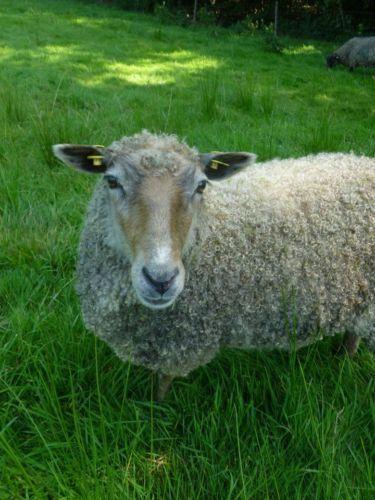 Wensleydale-Gotlandpelzschaf-mix-Rohwolle-Lockenwolle-Wolle-150g-Filzen