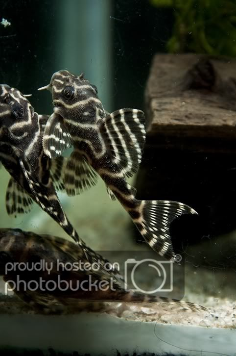 Simplydiscus Fish Pet Pleco Fish Tropical Fish