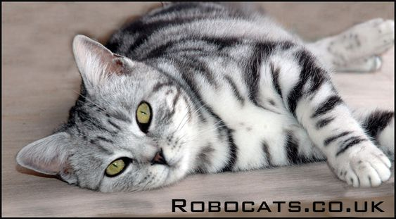 Silver Tabby British Shorthair Young Female Kitten See More At Our Website Www Robocats Co Uk Silver Tabby Cat Silver Tabby Kitten Tabby Kitten