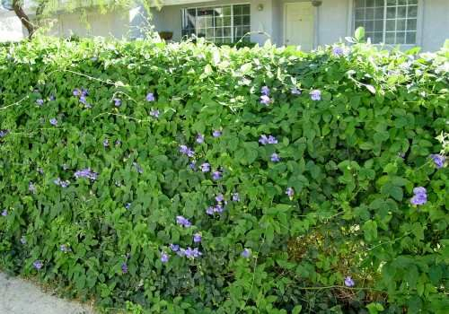 Chain link fence snails and chain links on pinterest for Fast growing flowering vines for fences