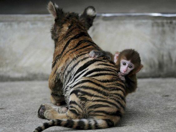 Tigre e macaco