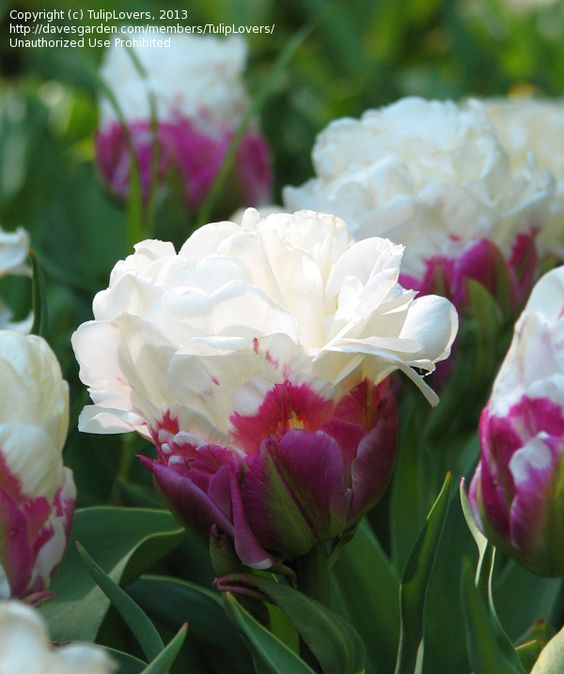 close up double late tulip peony flowered tulip 39 ice. Black Bedroom Furniture Sets. Home Design Ideas