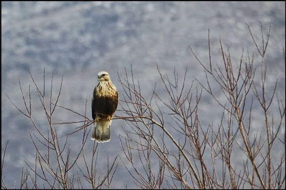 Rough-legged Hawk. USFWS Bear River Migratory Bird Refuge, Utah. Photo: Jennifer Bunker