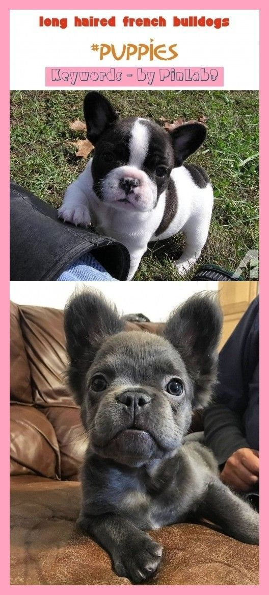 Long Haired French Bulldogs Haired French Bulldogs Langhaarige Franzosische Bulldoggen Bouledogues Francais In 2020 French Bulldog Bulldog French Bulldog Funny
