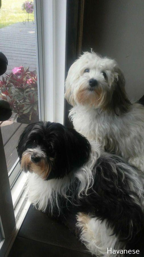 Havanese Intelligent And Funny Havanese Puppies Havanese Havanese Dogs