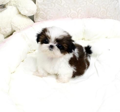 Teacup Shih Tzu Puppies For 50