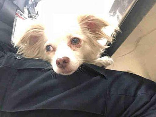 Austin Tx Chihuahua Meet A775607 A Dog For Adoption Pets