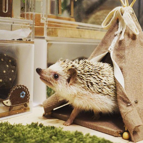 ティピーから出てきたハリ #hedgie #hedgehog #ハリネズミ #はりねずみ #pet #刺猬 #ふわもこ部 #igersjp #玻璃 #ティピー