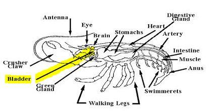 La langosta americana (Homarus americanus) orina por la cabeza