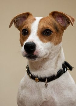 Difference between Parson, Jack Russell and Russell Terrier: