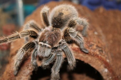 ded32fd07e7ddba6b36cb192e592bed7 - How To Get Rid Of Tarantulas In My House