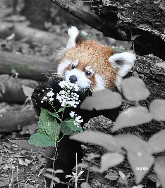 Red Panda Tierbilder Niedliche Tierbabys Susse Tiere