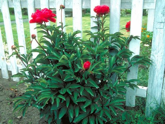 17 low maintenance plants and dwarf shrubs peonies diy for Low maintenance winter plants