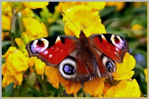 10 Most Attractive and Colorful Butterflies in the World | PieWay