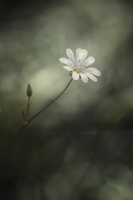 Langue d'oiseau. Stellaire holostée (Stellaria holostea) by Chewy Coco on 500px